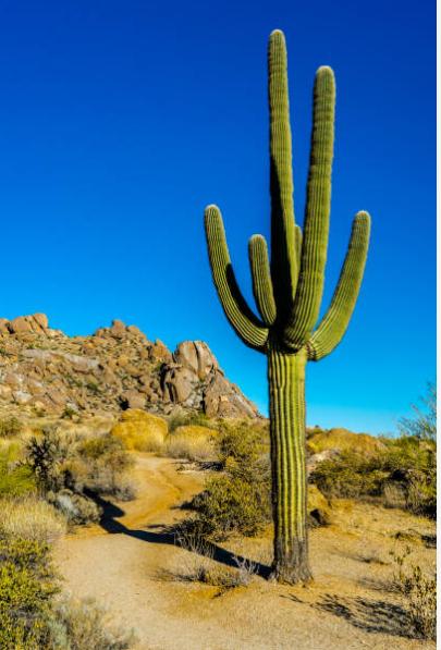 San Pedro Cactus - Echinopsis peruviana
